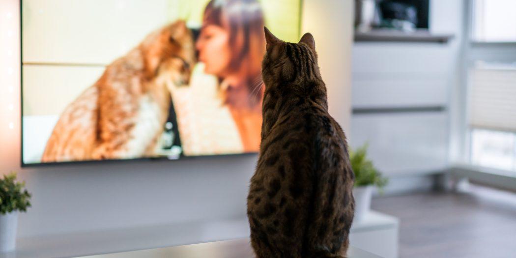 kot bengalski oglądający program o kotach w telewizji