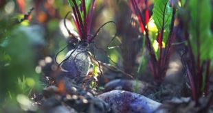Ogród warzywny, grządka z burakami.