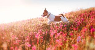 Jack Russell Terrier na kwiecistej łace