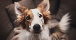 zbliżenie na psa w domu na kanapie